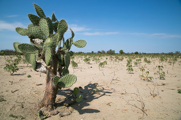 madagascar cactus in parched cassava field