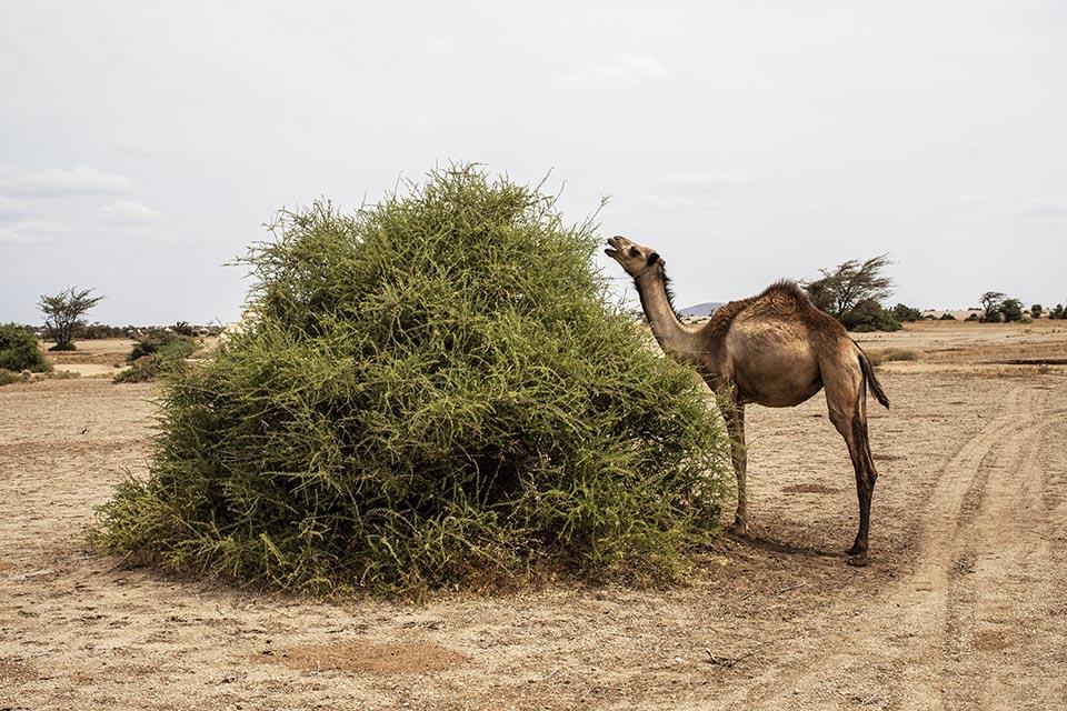 Camel grazing in Kenya
