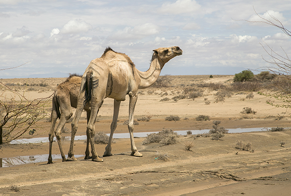 Camels suffer during prolonged Kenya drought