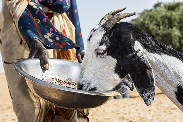 Goat helps farmer resiience in Chad desert