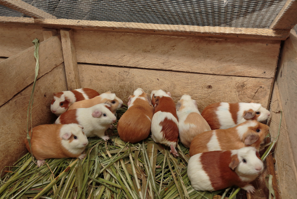guinea pigs in Colombia