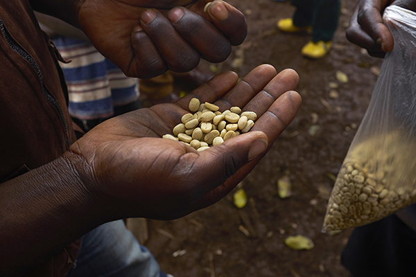 With business training, improved cultivation techniques and access to international markets, growers in South Kivu, Democratic Republic of Congo have seen profits more than double from sales of their coffee beans. Photo by Sam Phelps for CRS