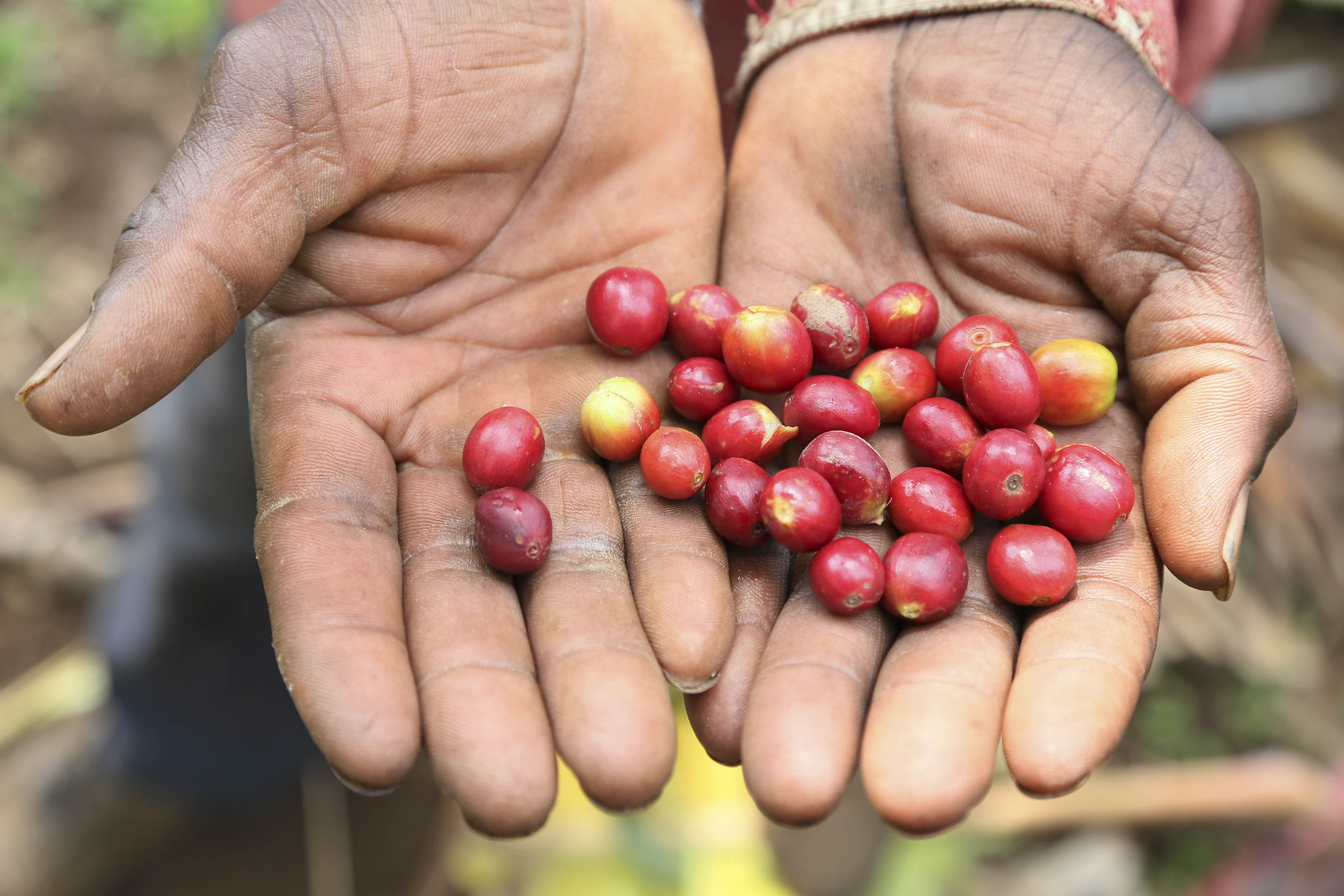 The project aims to expand high-value market opportunities and reduce vulnerability to hunger and environmental degradation for 6,000 smallholder coffee farmers. Photo by Michael Stulman/CRS