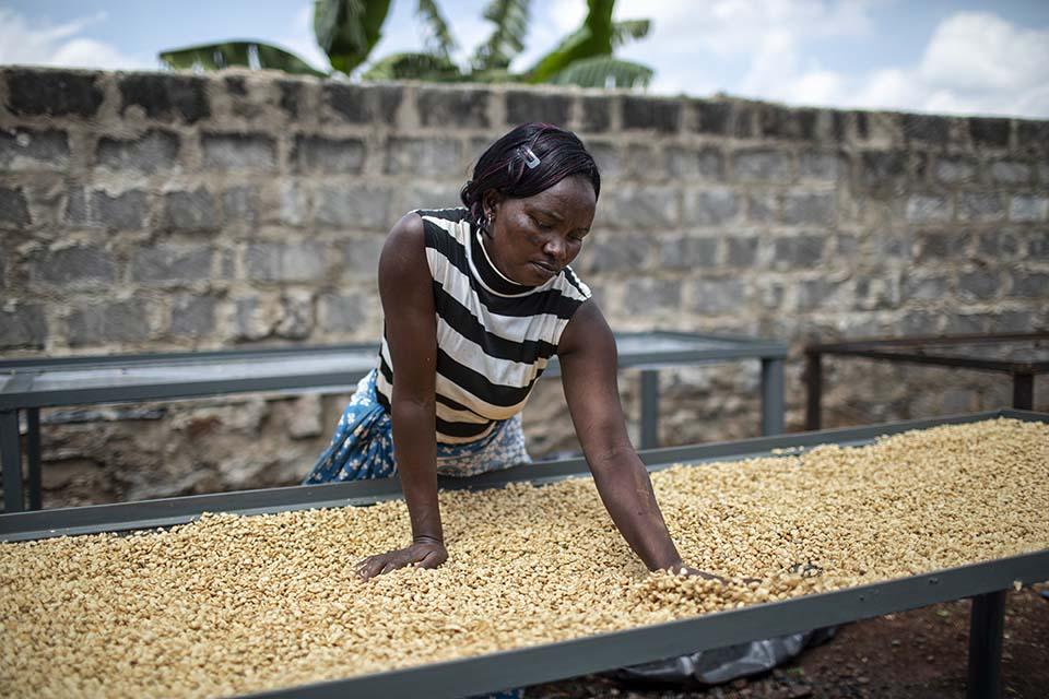 drying coffee beans in Kenya