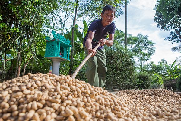drying peanuts in Vietnam