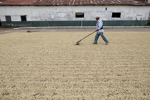 A worker in El Salvador prepares coffee beans on a drying patio. Photo by Oscar Leiva/Silverlight for CRS