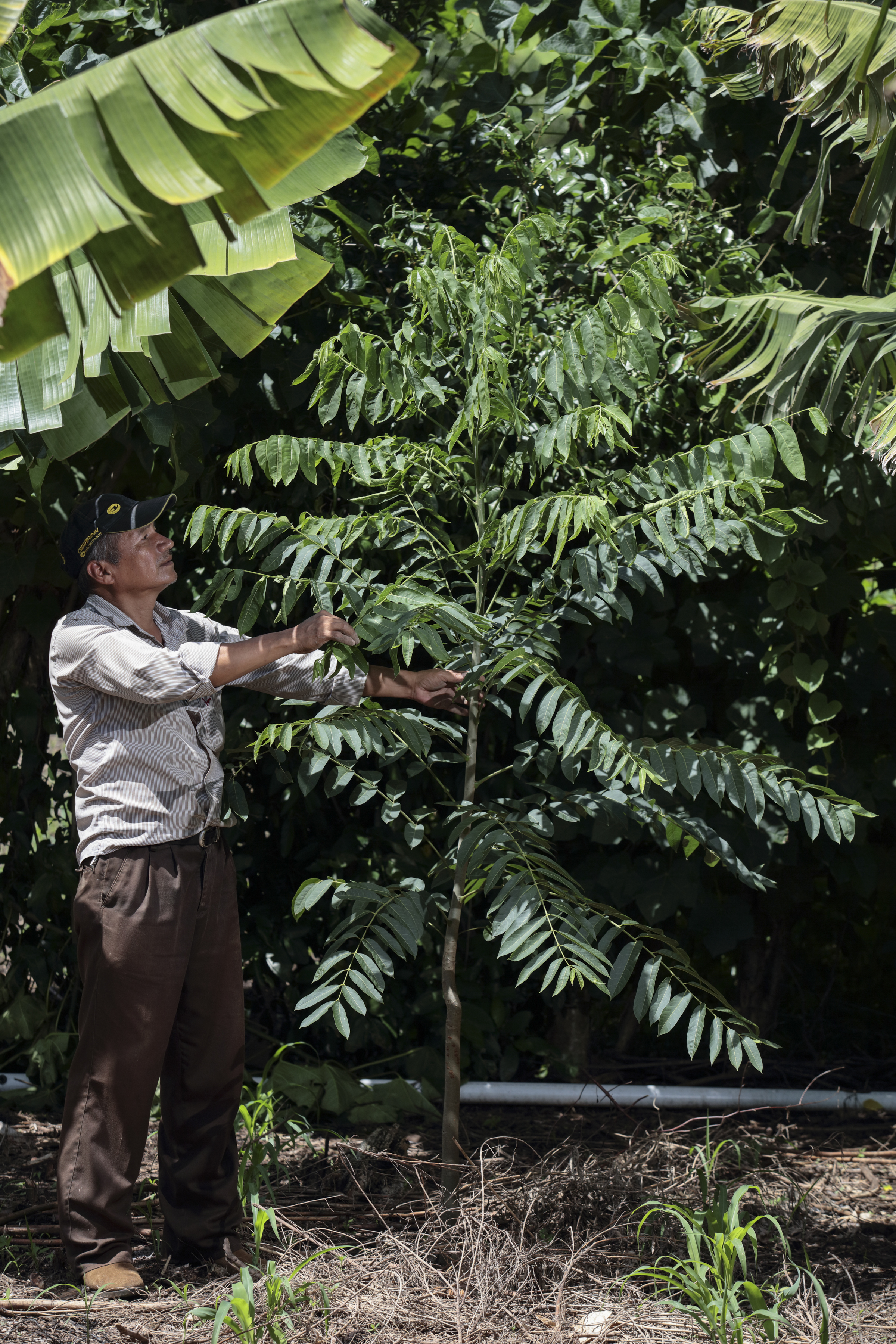 Simon Perez shows cedar trees he has planted with his cacao as part of an agro forestry system. Cedar trees also provide shade to the cacao. Photo by Oscar Leiva/Silverlight for CRS
