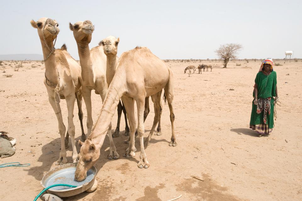 camels in Ethiopia