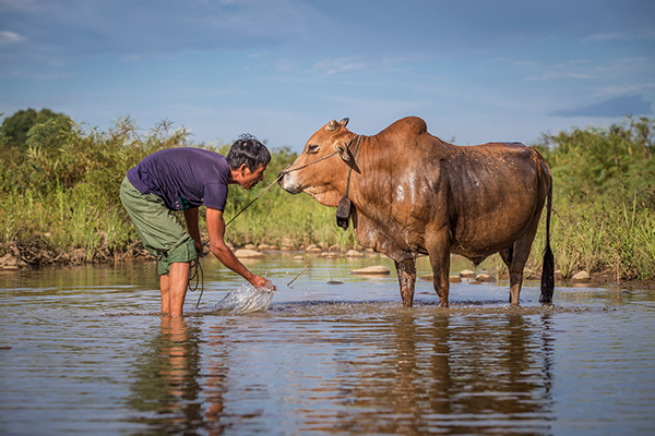 farmer washes cow in Vietnam
