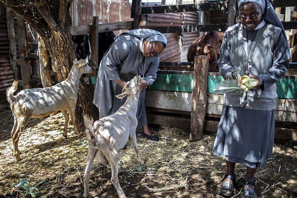 feeding goats in Kenya