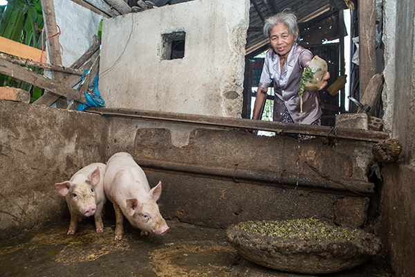 woman feeds pigs in Vietnam