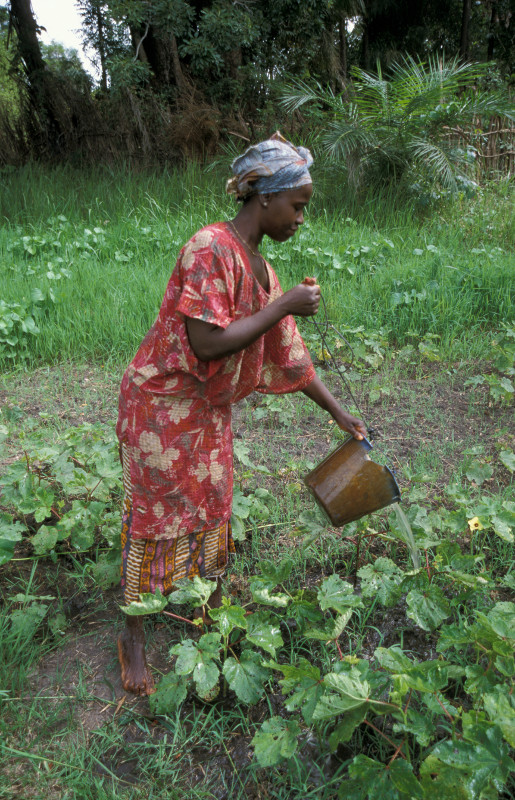 A woman from Kabekel village in The Gambia watering her okra plants. Photo by Sean Sprague for CRS.