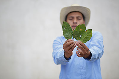 Guatemalan farmer Inez Ramirez shows the devastation of coffee leaf rush. Photo by Silverlight for CRS