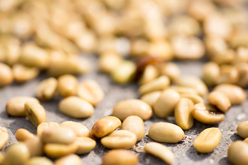 "After depulping and drying, ""green"" coffee beans are ready for roasting. Photo by Philip Laubner/CRS"