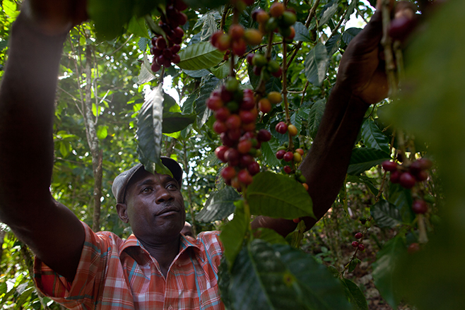 Israel Chery examines coffee berries on a neighbor's coffee plantation. CRS is working with thousands of coffee farmers to improve production, while connecting them with coffee buyers and other organizations who can provide financial help to the farmers'