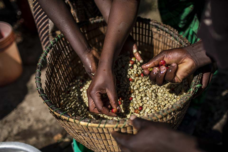 young Tanzanian coffee producers