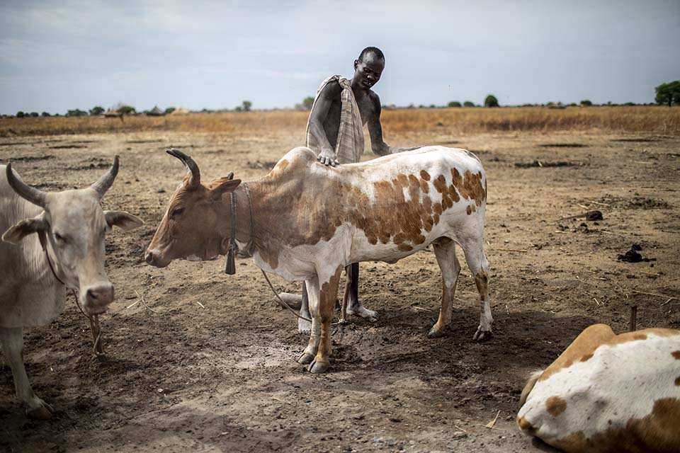man rubs ash on cattle in South Sudan