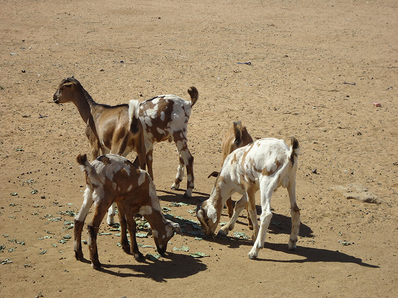 Young goats grazing at Darel Beyda in the Brakna region of Mauritania, West Africa. The animals are distributed as part of the Brakna Resilience Initiative, a Catholic Relief Services project aimed at tackling poverty and hunger and setting communities up