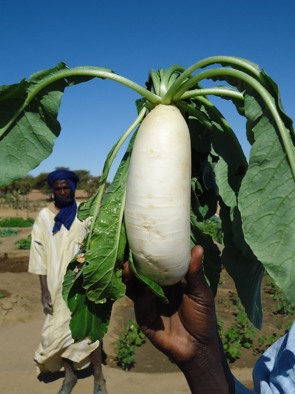 A vegetable from a dry-season garden in the village of Darel Beyda in the Brakna region of Mauritania, West Africa. Some families had been eating just one meal a day. Photo by Gillian David/CRS