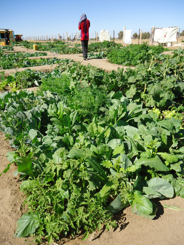 CRS and the U.S. Office of Foreign Disaster Assistance are helping families in Mauritania, West Africa, grow dry-season gardens to avert food shortages and help families become self-sufficient. The Brakna Resilience Initiative project combines the distrib
