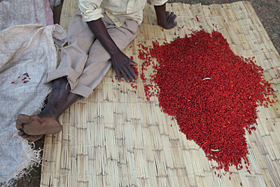 At market, Malawian farmer Timothy Machika sorts his chili by grade before presenting them for sale. Chilies that are the brightest red yield the highest prices. Photo by Sara A. Fajardo/CRS