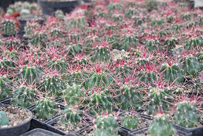 This one of 107 varieties of cactus that the women of Cactucito produce, the biznaga-roja (Ferocactus Pilosus). Photo by Christian Meléndez-López/CRS