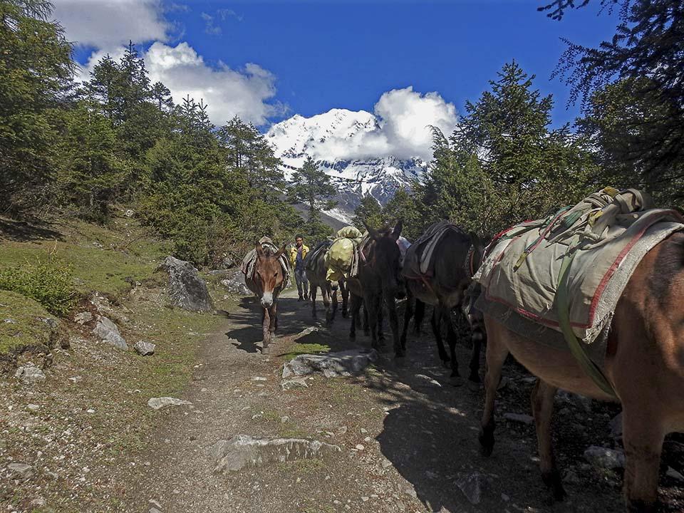 Nepal pack animals