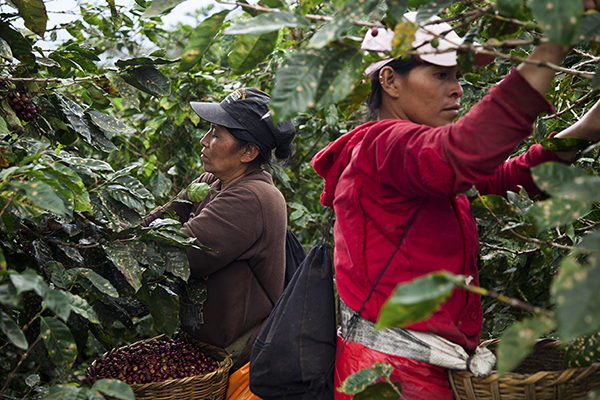 Farm workers gather the last remaining coffee beans being harvested at higher elevations in Matagalpa, Nicaragua. Photo by Alan Morgan for CRS
