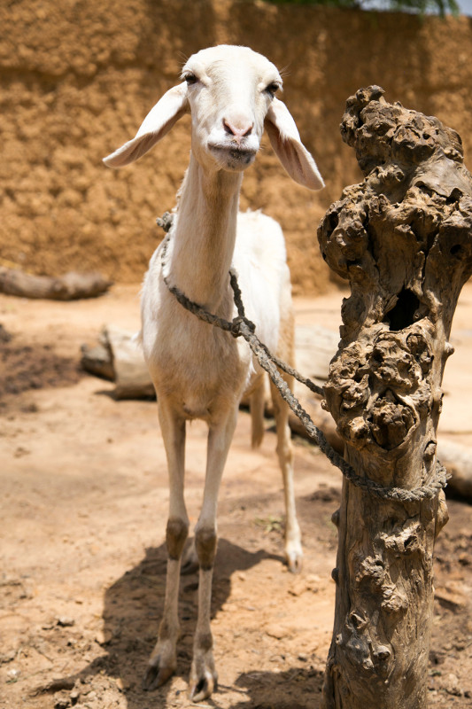 In Niger, CRS fairs help SILC members purchase goats and sheep. Members also receive livestock management training.