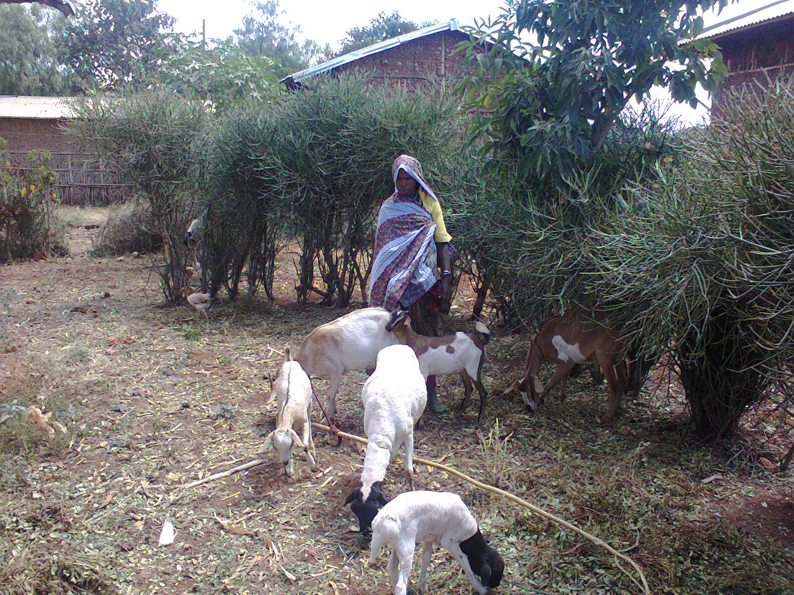 Genete Mehammed owns four goats, two sheep, a heifer and two donkeys.  She acquired the animals after joining a SILC group. Photo courtesy of Megerssa Fida