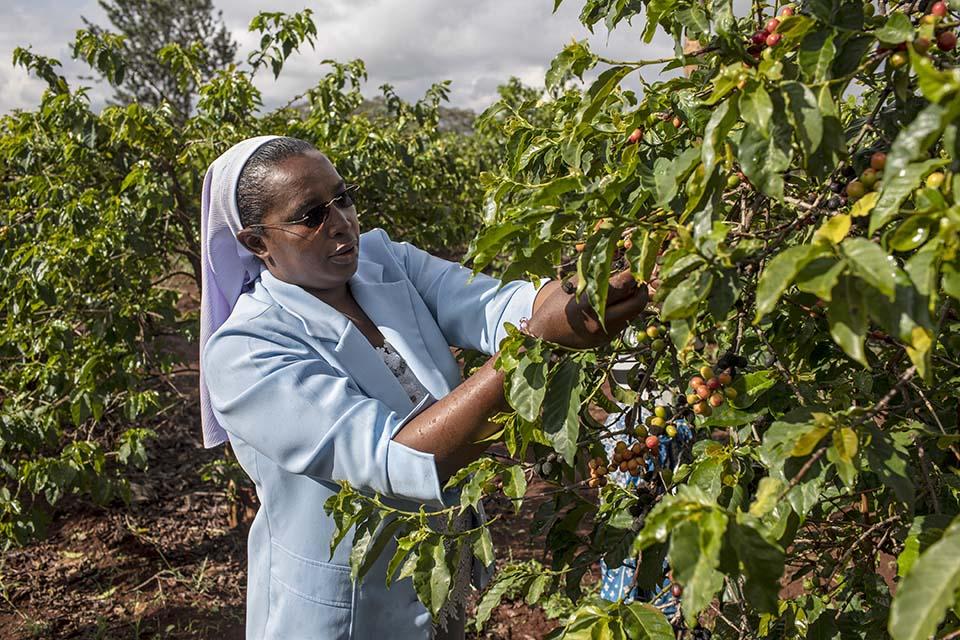harvesting coffee in Kenya