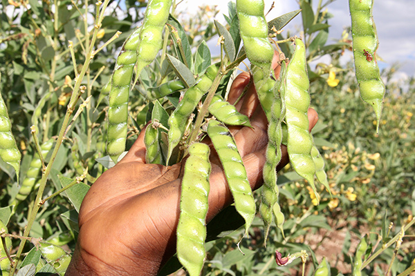 pigeon pea crop in Zambia