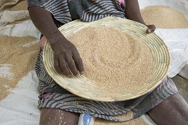preparing grain in a shallow basket