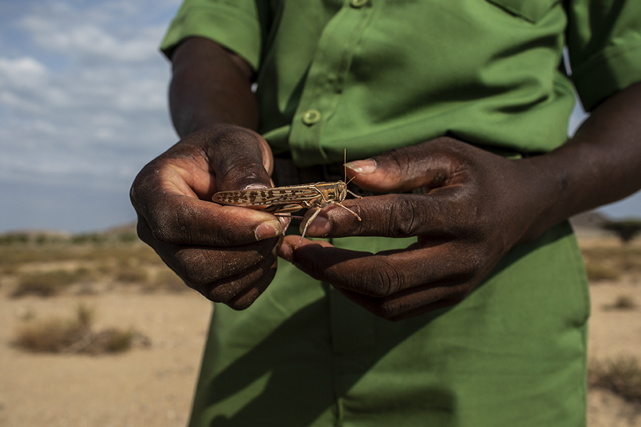 A man in Kenya holds a locust after it swarmed crops in rural parts of the country