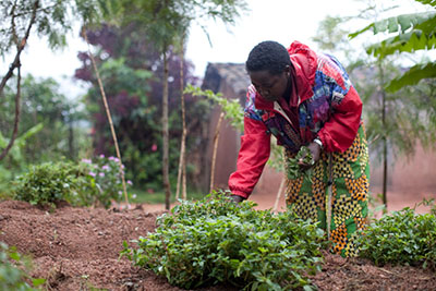 Josée Kabanyana picks amaranth from her compact garden in Rwanda. CRS and its partners show poor coffee farmers how to grow a variety of vegetables and fruits in gardens that use labor and other resources efficiently. Photo by Laura Elizabeth Pohl for CRS