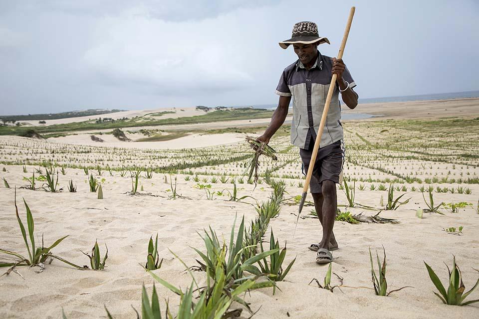 sisal on Madagascar dune