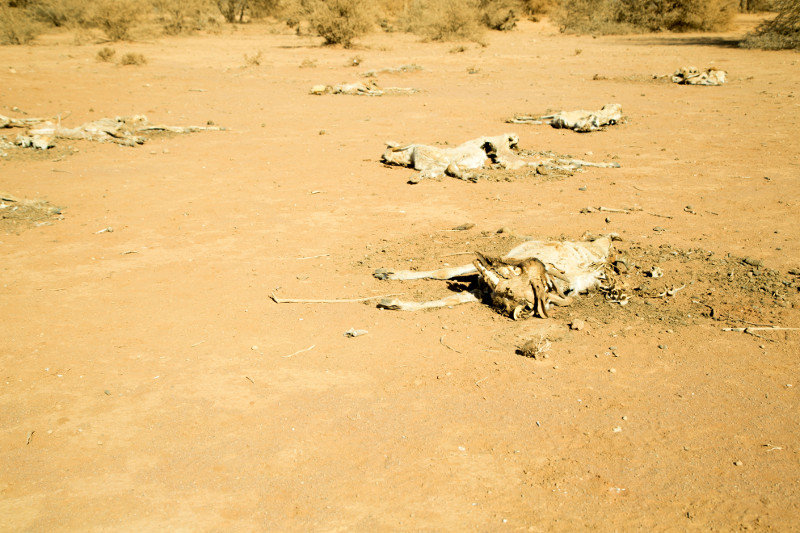 Goat carcasses litter a sandy field in Somaliland. Some families save an animal or two by giving them a bit of their own water.