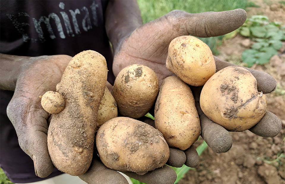 Sudan potato crop