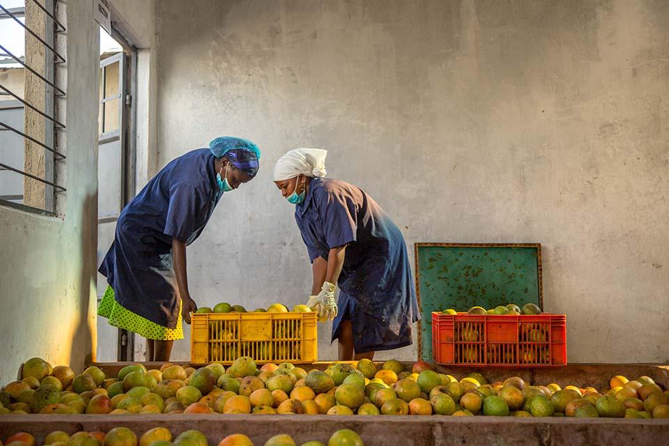 mango operation in Kenya