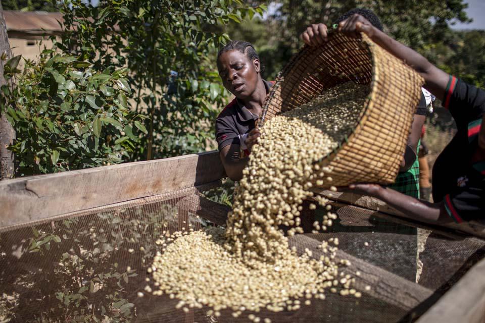 Tanzania coffee grower