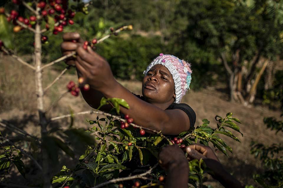 harvesting coffee in Tanzania