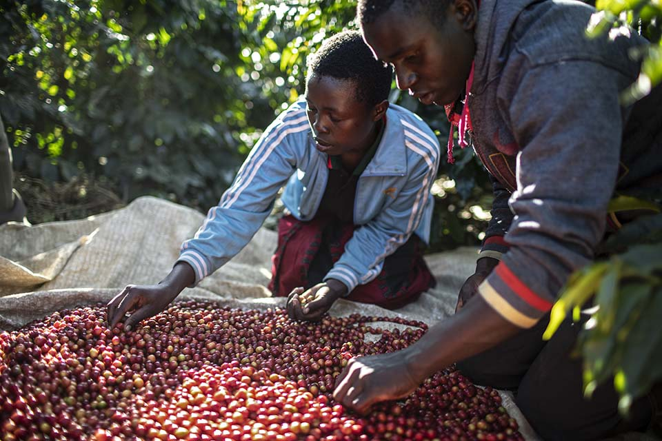 Tanzania coffee processing