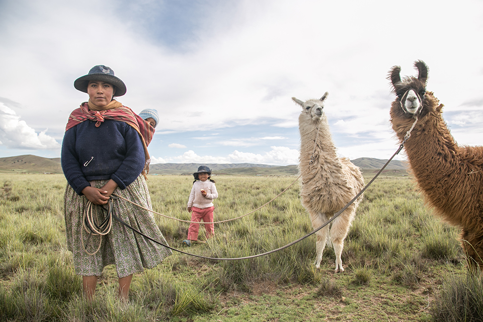 tending llamas in Bolivia