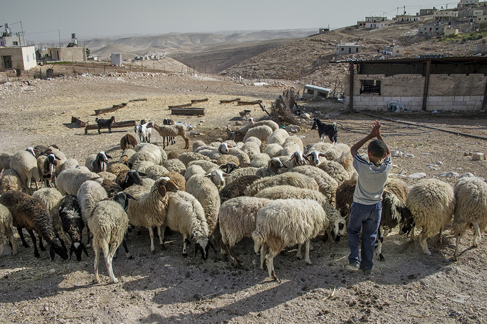 tending sheep in the West Bank