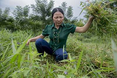 Thien Thi Phan cuts fodder for her family's cows. Each day, she juggles multiple tasks to earn an income for her family. Photo by Jennifer Hardy/CRS