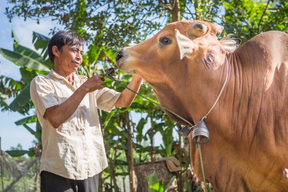 tending to a cow in Vietnam