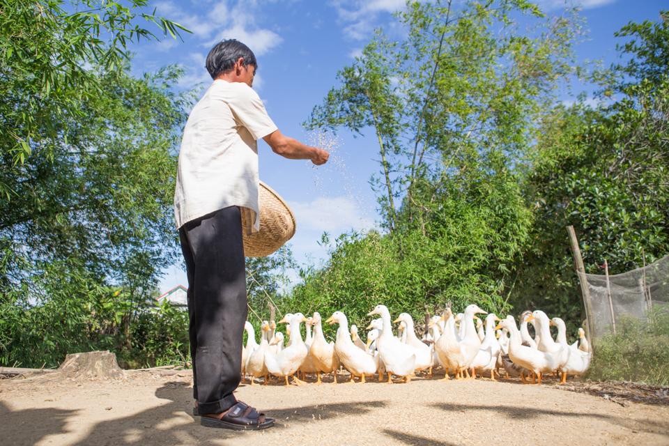 feeding ducks in Vietnam