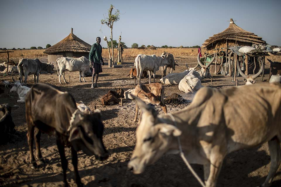 tending cattle in South Sudan