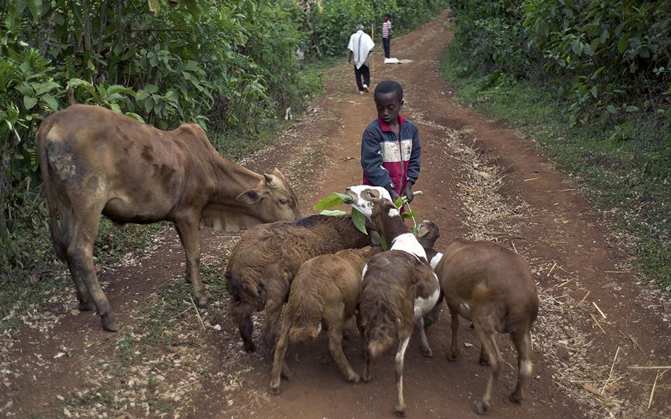 young boy tending livestock in Ethiopia