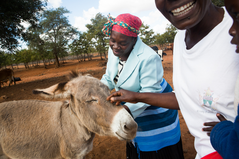 tending to a donkey in Zimbabwe